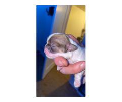 2 AKC female Shihtzu puppies for sale