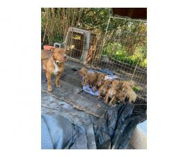 Red nose pitbull puppies fullblooded