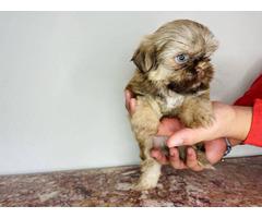 9 weeks old Shihtzu puppy