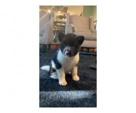 4 Akita puppies needing a new home