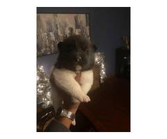 4 Akita puppies needing a new home