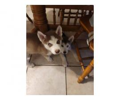 12 weeks old Husky male puppies