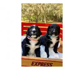 5 Bernese Poodle puppies for sale