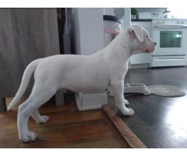 3 Dogo Argentino puppies for sale