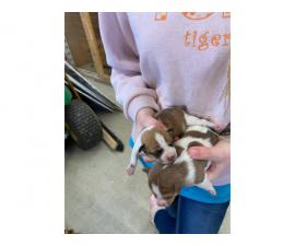 Litter of 8 Rat Terrier Puppies