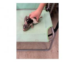 Litter of 8 Rat Terrier Puppies