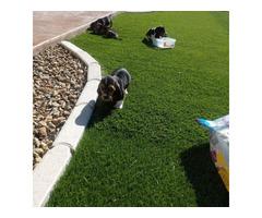 7 weeks old Basset hound puppies