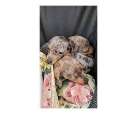 3 daple Dachshund puppies available