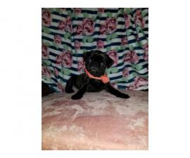 Purebred black pug puppy for sale