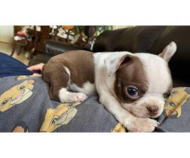 5 Boston Terrier puppies looking for new home