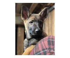 3 AKC Registered German Shepherd puppies for sale