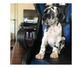 Beautiful fullblooded great dane puppies
