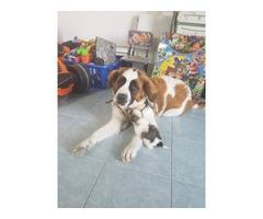 Saint Bernard Puppies 3 males and 2 females