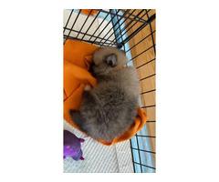 4 month old Pomeranians for sale