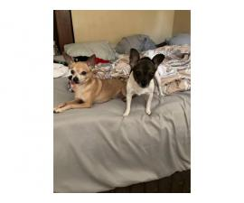 2 males fullblooded Chihuahua puppies