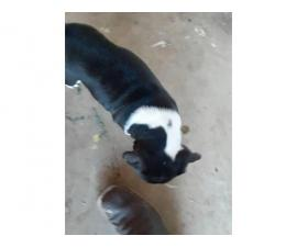 4 Pitbull puppies needing a new home