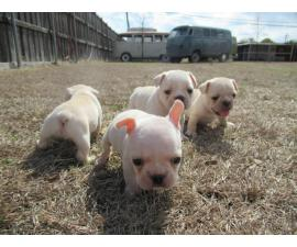 AKC Cream Color French Bulldog Puppies for sale