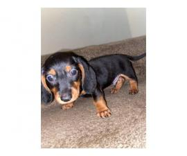 8 week old Dachshund male puppy