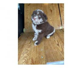 2 Merle and 3 Black Aussie puppies available