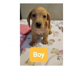 4 beautiful Dachshund puppies for a loving new home