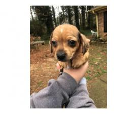 5 Chiweenie puppies for sale