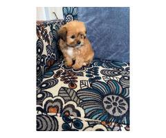 8 weeks old Shorkie Puppy
