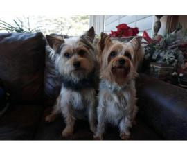 Yorkie for sale 3 girls and 1 boy