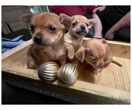 3 Chihuahua puppies available
