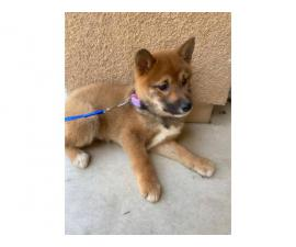 12 weeks old AKC registered Shiba Inu puppies for sale