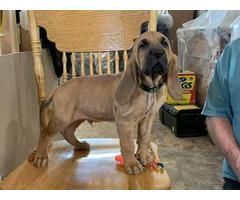 AKC Bloodhound puppies