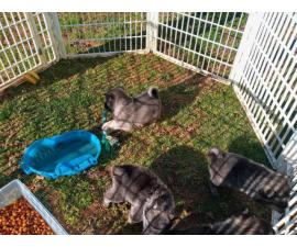 Elkhound puppies