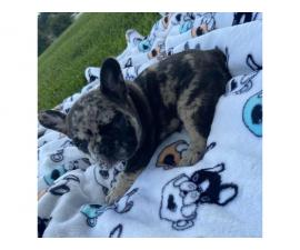 4 AKC French Bulldog puppies for sale