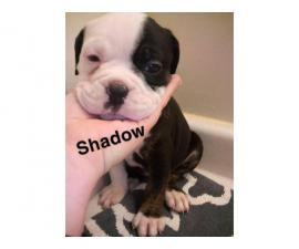 Registered Olde english Bulldogge puppies for sale