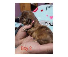 4 AKC Shihtzu puppies for sale