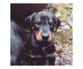 Doberman pups available