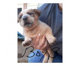 4 Cattle dog puppies for sale