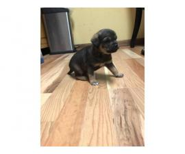 5 Chihuahua puppies for sale