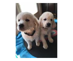 AKC Cream Golden Retriever puppies