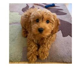 Adorable Akc registered poodle puppies for sale