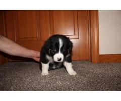 Home Raised Australian Shepherd Puppies for Sale