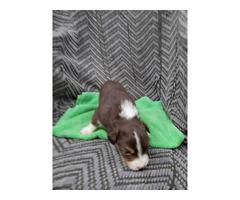 3 AKC Australian Shepherd puppies for Sale
