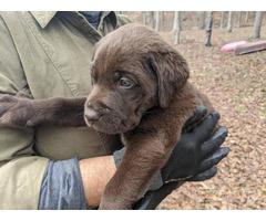 Purebred Chocolate & Black Labrador Retriever puppies