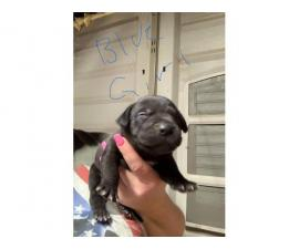 2 Great Dane pups for sale