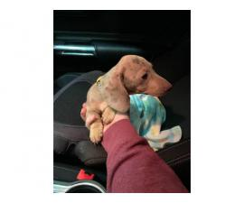 Dapple Dachshund Puppy Looking for New Home