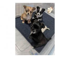 AKC Apple head Chihuahua puppies
