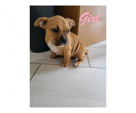 ABKC registered American Bully puppies
