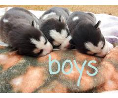 6 AKC Siberian husky puppies