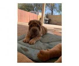 3 Shar-pei puppies for sale
