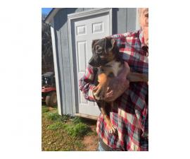 3 female chiweenie puppies for sale