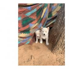6 White Siberian husky puppies looking a new home